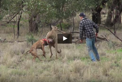 Kangaroo fight with local dog